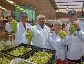 Tierra Amarilla; en el Valle de Copiapó inicia la temporada de cosecha de uva de mesa de exportación